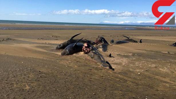 کشف لاشه دهها نهنگ مرده در ایسلند+عکس